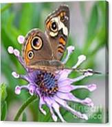 Butterfly On African Daisy Canvas Print