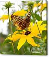 Butterfly On Blackeyed Susan Canvas Print