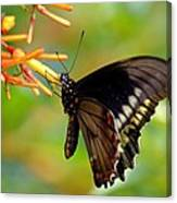 Butterfly On Firebush Canvas Print