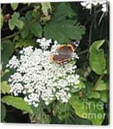 Butterfly On Lace Canvas Print