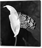 Butterfly On Peace Lilly Canvas Print