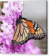 Butterfly On Phlox Flowers Canvas Print