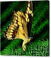 Butterfly On Pine Canvas Print