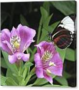 Butterfly On Pink Lillies Canvas Print