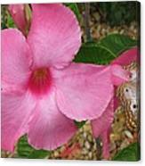 butterfly on the Mandevilla Canvas Print