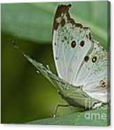 Butterfly Ready For Take Off Canvas Print