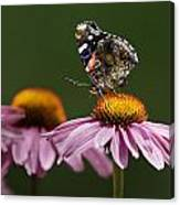 Butterfly Red Admiral On Echinacea Canvas Print