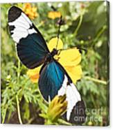 Butterfly Sara Longwing Canvas Print
