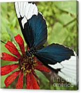 Butterfly Sara Longwing II Canvas Print