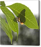 Butterfly Shadow Canvas Print
