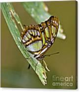 Butterfly Siproeta Stelenes Canvas Print