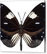 Butterfly Species Euploea Radamanthus Common Name Magpie Crow Canvas Print