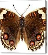 Butterfly Species Junonia Orithya  Canvas Print