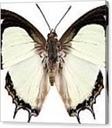 Butterfly Species Polyura Jalysus Canvas Print