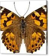Butterfly Species Vanessa Cardui  Canvas Print