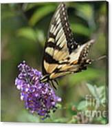 Butterfly Sucking On Some Pollen Canvas Print