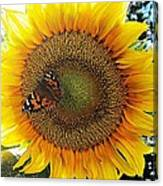 Butterfly Sunflower Canvas Print