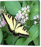 Butterfly - Swallowtail Canvas Print