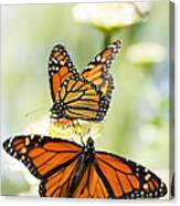 Butterfly Trio Canvas Print