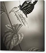 Butterfly Warm Black And White Canvas Print