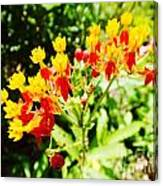 Butterfly Weed 2 Canvas Print