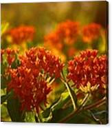 Butterfly Weed In The Sunset Canvas Print