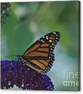 Butterflybush Canvas Print
