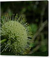 Buttonbush Canvas Print