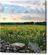 Buttonwood Farm Sunflowers Canvas Print