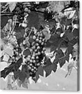 Bw Hanging Thompson Grapes Sultana Poster Look Canvas Print