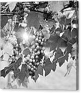Bw Lens Flare Hanging Thompson Grapes Sultana Canvas Print