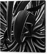 Bw Variegated Agave Canvas Print