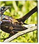 By Beak And Tail It Is A Grackle Canvas Print