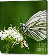 Cabbage Butterfly Canvas Print