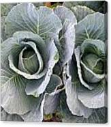Cabbage Duo Canvas Print