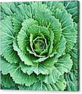 Cabbage Leaves Canvas Print