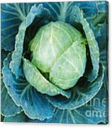 Cabbage Painterly Canvas Print