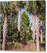 Cabbage Palm Canvas Print