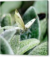 Cabbage White Butterfly In Flight Canvas Print