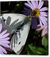 Cabbage White In Shadow Canvas Print