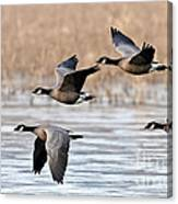 Cackling Geese Flying Canvas Print