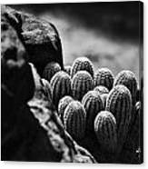 Cacti  B And W V2 Canvas Print