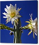 Cactus Blooms Canvas Print