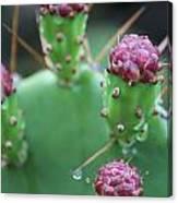 Cactus Dew Canvas Print