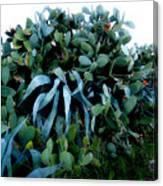Cactus Family Almeria Region Spain 2013 January Canvas Print