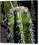 Cactus In Hawaii Canvas Print
