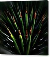 Cactus Spines Canvas Print
