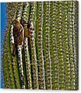 Cactus Wren With Offspring In A Saguaro Cactus In Tucson Sonoran Desert Museum-arizona Canvas Print