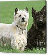 Cairn Terrier And Scottish Terrier Canvas Print