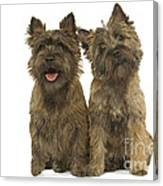 Cairn Terriers Canvas Print